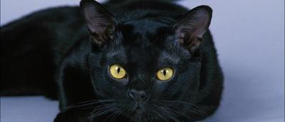 Il Adopte Des Chats Noirs Pour Les Cuisiner Et Les Servir A Ses