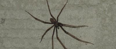 Une lectrice de Bressoux : « Bonjour, je tiens à vous dire que j'ai trouvé,  chez moi, la même araignée que celle de Cuesmes, dans la poubelle située  dans la ...